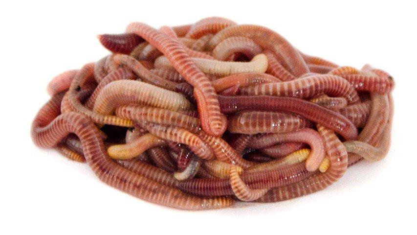 Boomfeestdag regenwormen - wormen
