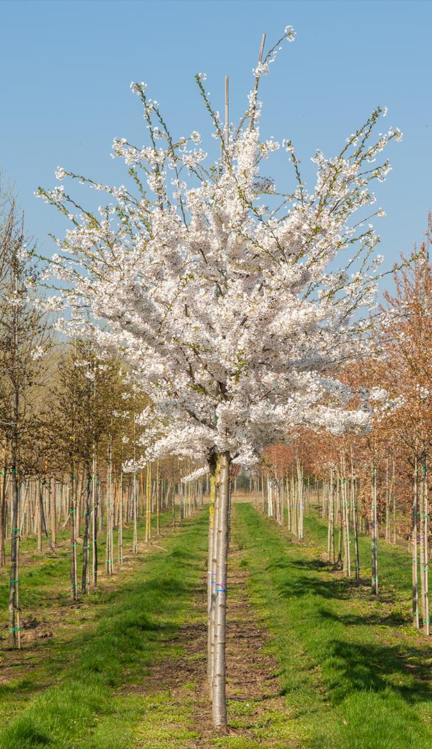 Prunus yedoensis (sierkers) totaal bij Boomkwekerij Ebben